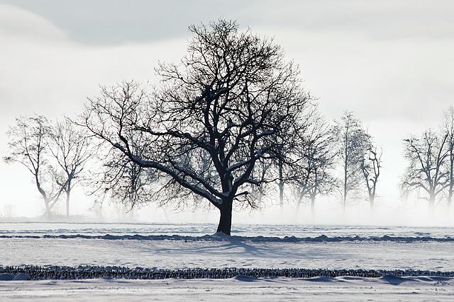 Drevo v megli