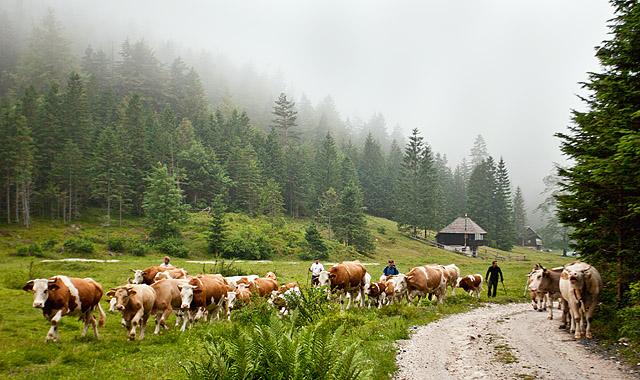 S kravami v planinski raj Zgornje Krme