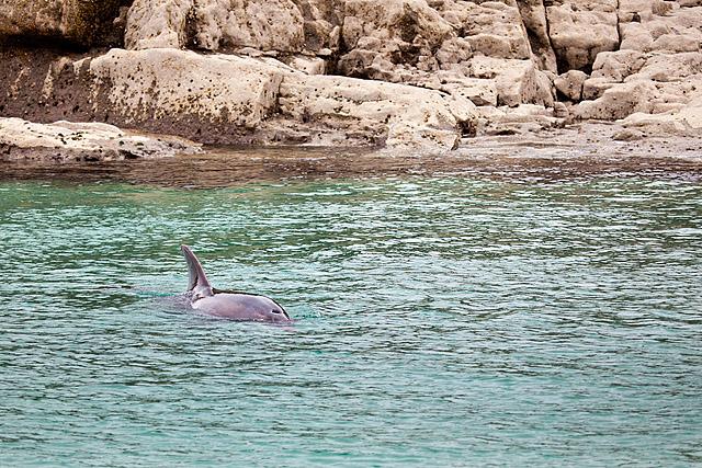 Delfin irska
