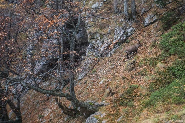 Kozorog Kamniško-Savinjske Alpe