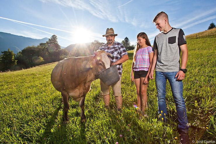 Krmljenje krav