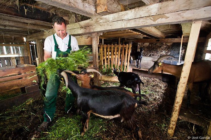 Koze na kmetiji