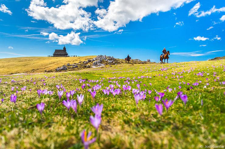 Žafrani Velika planina