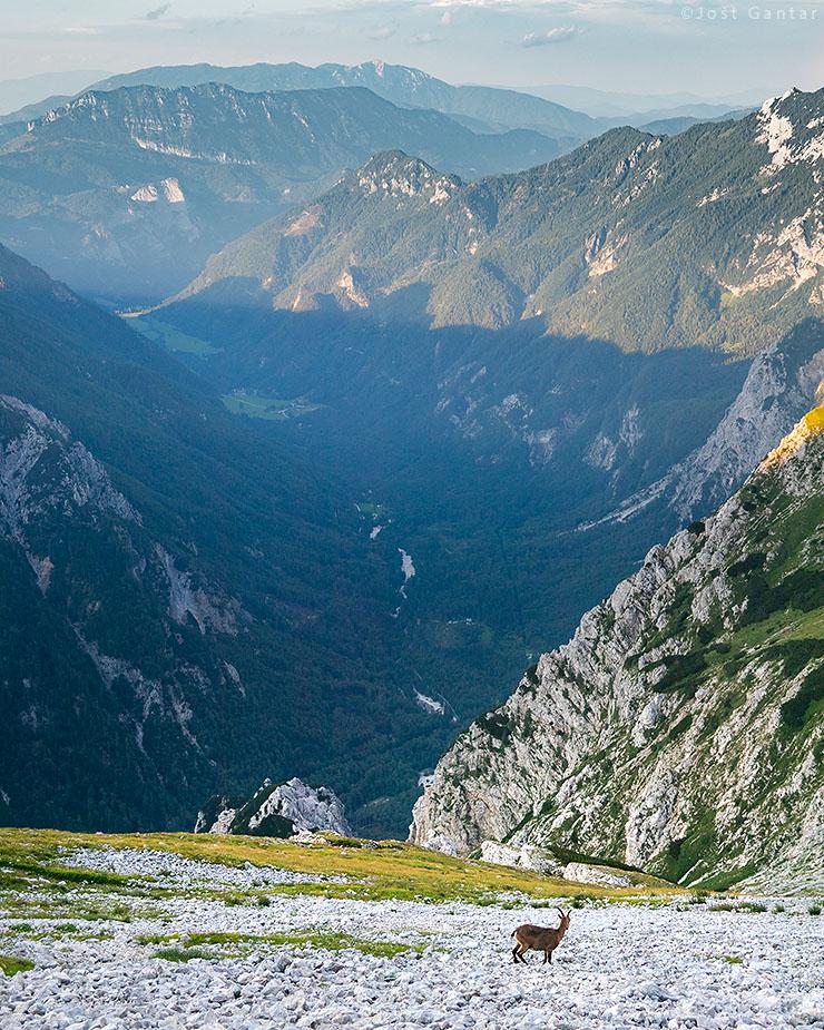 Kozorogi Logarska dolina