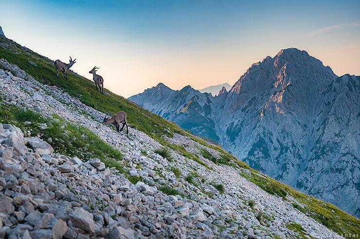 Kozorogi Kamniško-Savinjske Alpe